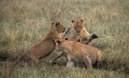 Lioness and her cubs playing with each other in savannah. National Park. Kenya. Tanzania. Masai Mara. Serengeti. Stock Image