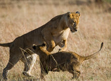 Lioness and her cubs playing with each other in savannah. National Park. Kenya. Tanzania. Masai Mara. Serengeti. Stock Photography