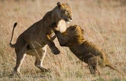 Lioness and her cubs playing with each other in savannah. National Park. Kenya. Tanzania. Masai Mara. Serengeti. Stock Photos
