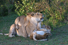 Lioness with Her Cubs. Lioness plays with two young cubs Stock Image
