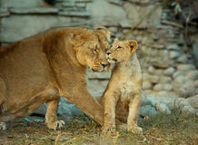 Lioness with her little cub Stock Image