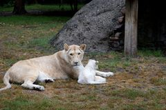 A lioness and her little lion baby with a natural background stock photo