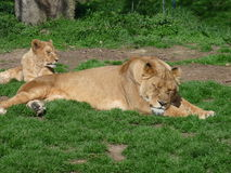 A lioness and her little lying in the grass Stock Image