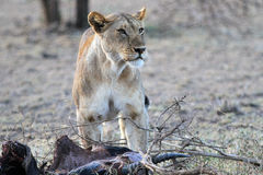 Lioness and her production Royalty Free Stock Image