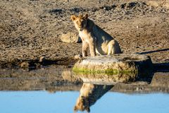 Lioness and her reflection at a waterhole Stock Images