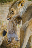 LIoness with her 1 week cub Stock Images