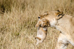 LIoness with her 1 week cub Stock Image