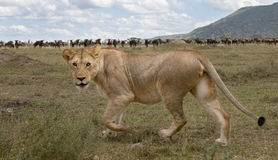 Lioness and herd of wildebeest Stock Image