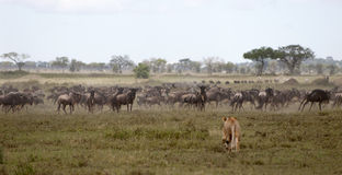 Lioness and herd of wildebeest Royalty Free Stock Photo