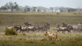 Lioness and herd of wildebeest at the Serengeti Royalty Free Stock Images