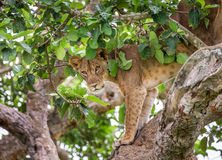 Lioness hides in the leafs of a large tree. Uganda. East Africa. Stock Photo
