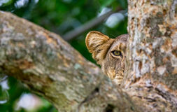 Lioness hides in the tree branches  of a large tree. Uganda. East Africa. Stock Photography