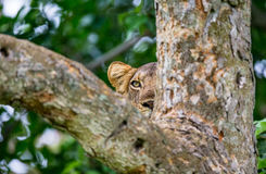 Lioness hides in the tree branches  of a large tree. Uganda. East Africa. Royalty Free Stock Photography