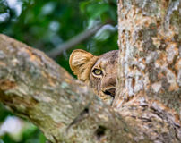 Lioness hides in the tree branches  of a large tree. Uganda. East Africa. Stock Photos