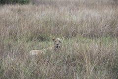 Lioness hiding Queen Elizabeth National Park, Uganda. Lioness hiding in tall grasses in Queen Elizabeth National Park, Uganda, Africa Stock Photography