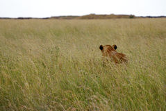 Lioness in high grass. Lioness searching voor prey in the high grass Royalty Free Stock Photo