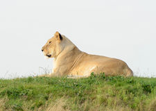 Lioness On Hill Royalty Free Stock Photography