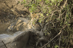 Lioness holding its prey in a muddy river, Serengeti, Tanzania Royalty Free Stock Images