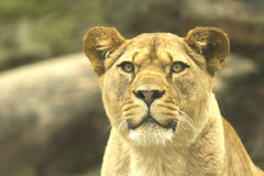 Lioness (horizontally). Detailed portrait of the lioness Royalty Free Stock Photo