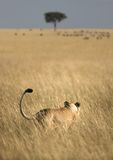 Lioness hunting Royalty Free Stock Photos