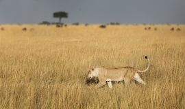 Lioness hunting Stock Image