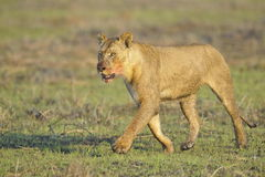 Lioness after hunting. Stock Photo