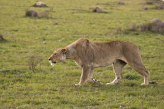 Lioness hunting. Female lion stalking prey on the plains Royalty Free Stock Photo