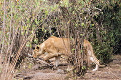 Lioness hunting. African lioness prowls around bushes , Masai Mara National Reserve, Kenya Royalty Free Stock Image