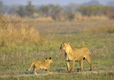 Lioness after hunting with cub. Royalty Free Stock Images