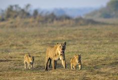 Lioness after hunting with cubs. Royalty Free Stock Photo