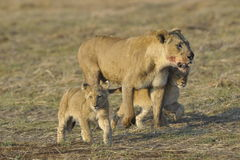 Lioness after hunting with cubs. Stock Photography