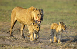 Lioness after hunting with cubs. Royalty Free Stock Photography