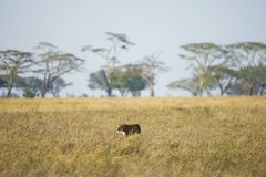 Free Lioness Hunting In East Africa Stock Photos - 124731333