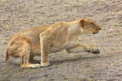 A lioness hunting Stock Photography
