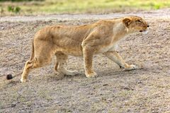 Lioness hunting at masai mara national park Stock Image