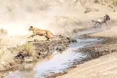 Lioness hunting wildebeest Royalty Free Stock Images