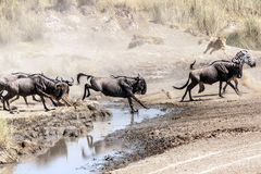 Lioness hunting wildebeest. In the Serengeti in Tanzania crossing the river Royalty Free Stock Photography