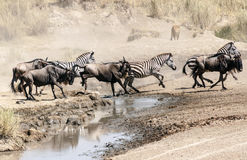 Lioness hunting wildebeest Stock Image