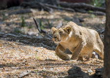 Lioness hunting. Young lioness prepared to attack the prey stock photo
