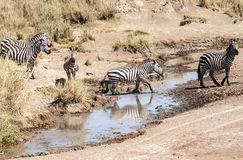 Lioness hunting zebras Stock Photos