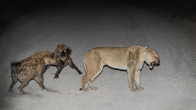 Lioness & the Hyenas. 3rd Jun 2014, Halali Rest camp, Etosha Namibia proved to be one of the scariest & most adrenaline pumping night we have ever witnessed Royalty Free Stock Photos