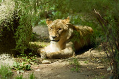Lioness I Royalty Free Stock Images