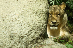 Lioness II Royalty Free Stock Image