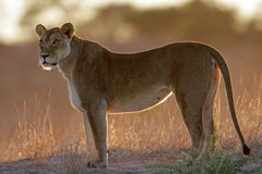 Lioness illuminato Immagine Stock