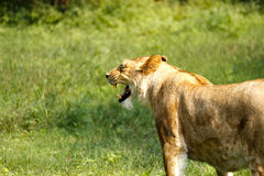 Lioness Royalty Free Stock Images