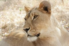 Lioness Intense Look Determination Focused. Lioness intense lioness look from the Zimbabwe Africa. A look of determination and ready for action royalty free stock photo