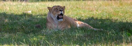 Lioness isolated on the grass in an open space. stock photo