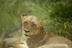 The lioness just awaking after a good nap/. A young lioness portrait in the late afternoon sunlight. waking up from her resting spot for the day stock photography