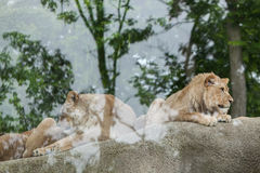 Lioness and juvenile male lion (Panthera leo). Stock Images