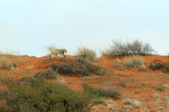 Lioness in the Kalahari Stock Photography